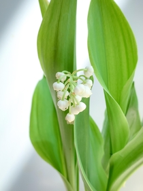 I received some Lily of the valley Convallaria majalis few days ago Ive always loved those delicate flowers and their wonderful scent