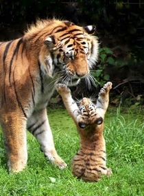 I saw a butterfly tthhhiiiisss big Tiger and her cub