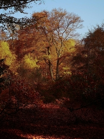 I see your Dutch forest in autumn and raise you an English autumn in Epping Forest  x