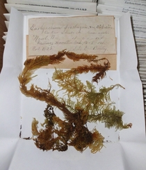 I sort herbarium specimens that are over a century old Feather Moss Eurhynchium praelongum  OC