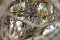 I think that he saw me first Great Gray Owl