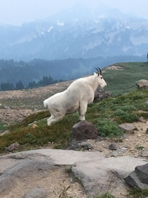 I thought this mountain goat in Mt Rainier NP was posing for me He was peeing