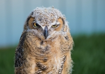 I took this picture of a young Great Horned Owl at the birds of prey sanctuary in Lethbridge Alberta