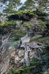I was really taken with this tree in Point Lobos State Natural Reserve