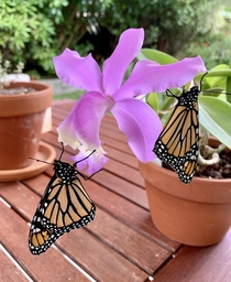 I was told this might be appreciated here My Cattleya loddigesii orchid with two newly eclosed Monarch Butterflies Danaus plexippus