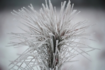 Ice Coating a young pine tree