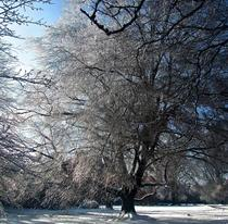 Ice-covered trees melting in the sun