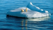Ice floe Arctic Polar Bears ocean Animals