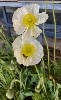 Icelandic poppy Papaver nudicaule with a bee in front of a Ralphs Supermarket this morning