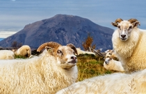 Icelandic Sheep Ovis aries