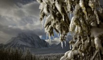 Icicles form on a tree as the afternoon sun melts the snow in Banff National Park
