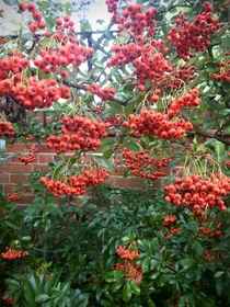 Im a sucker for Pyracantha against a red brick wall Saw this beauty in Medmenham by the Thames