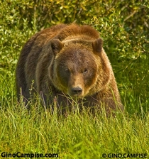 Im always hiking in Alaska looking for all animals species but I prefer the alpha predators Heres one of the hundreds of Grizzly Bear Ive encountered Hiking Yes hes looking right at me