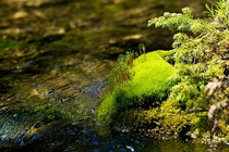 Im attracted to the way this small mossy bank looks like a lush tropical island Grassi Lakes Canmore Alberta Canada