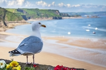 Im going to plump for Herring Gull on this handsome fellow overlooking Tenby Harbour in South Wales He was quite the poser and let me get quite close and take a couple of pictures from different angles  x OC