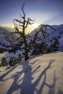 Imagine the sunsets this old tree has witnessed Little Cottonwood Canyon UT