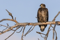 Immature Bald Eagle scanning Lee Metcalf National Wildlife Refuge Montana