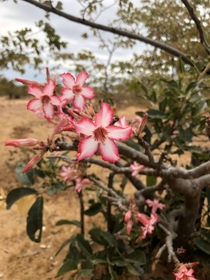 Impala Lily I found lots of these outside of the town of Mamba Zambia