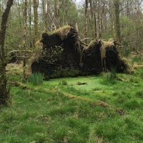Impressive uprooted tree in Killarney Co Kerry Ireland