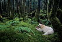 In a moss-draped rain forest in British Columbia towering red cedars live a thousand years and black bears are born with white fur