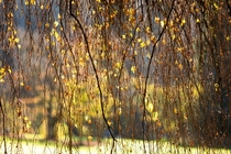 In Autumn the leave and branches hang down like streams of water leaves as drops