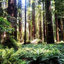 In the Redwood Forest northern California Taken by me