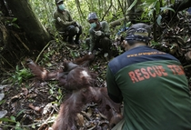 In this Jan   photo conservationists from the Borneo Orangutan Survival Foundation examine a tranquilized orangutan during a rescue and release operation for orangutans trapped in a swath of jungle in Sungai Mangkutub Central Kalimantan Indonesia Photogra