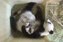 In this photo taken Sept   and provided by the Schoenbrunn zoo panda mother Yang Yang holds her twin cubs in their compound at the Schoenbrunn zoo in Vienna Austria Photo credit Schoenbrunn Zoo via The Associated Press AP