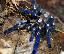 Incredibly Rare Gooty Tarantula Poecilotheria metallica