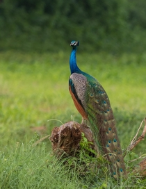 Indian Peafowl Pavo cristatus - Near Lodai Kutch Gujarat India
