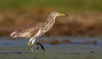 Indian Pond Heron in breeding plumage I had to crawl through a swamp to get this shot