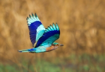 Indian Roller in flight from India