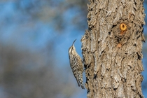 Indian Spotted Creeper - Salpornis spilonota - Chappar Rajasthan India
