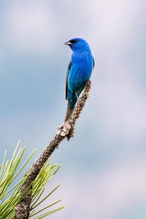 Indigo Bunting I found the other day