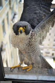 Inner City Peregrine Falcon Falco peregrinus near his nest in an abandoned hotel