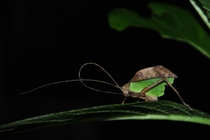 Insect that take on the appearance of a half way decayed leaf to camouflage itself This was shot at night with the help of a flash light in Costa Rica  photo by Adam Johnson