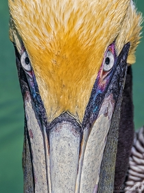 Intense staredown from a brown pelican Pelecanus occidentalis in breeding colors