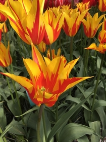 Interesting and pretty tulips at Keukenhof in Holland