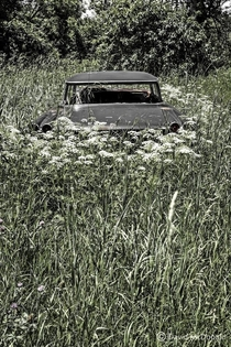 Interestingly this abandoned Pontiac has been encircled by Queen Annes Lace flowers Found in a field in front of an abandoned workshop