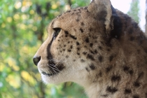 International Cheetah Day - Dec th Acinonyx jubatus