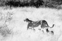 Into the Wild A mamma Cheetah with three cubs search for prey As the fastest land animal it can reach speeds of up to mph Photo taken in the Okavango Delta