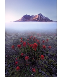 Inversion Indian Paintbrush foreground in front of Mt St Helens rising from a temperature inversion Photo taken from Johnston Ridge Observatory WA