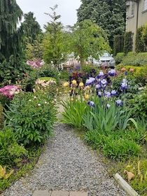 Irises lupine peonies Japanese Snowbell tree Pink Chime waiting the blooms