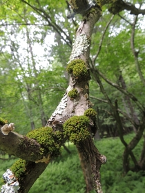 Ironwood branch covered in moss lichen and fungi