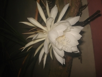 Is this a Moonflower Philippines just bloomed a few hours ago