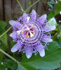 It finally stopped raining and my passionflower an unnamed P incarnata hybrid is very happy