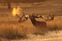 It looks like the stag is breating fire by Craig Denford