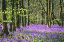 Its bluebell season in the UK