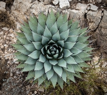 Its not flowering but I think this New Mexico agave Agave parryi subsp neomexicana is pretty sexy