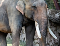 Its World Elephant Day Asian Elephant